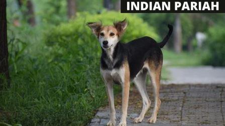 INDIAN PARIAH