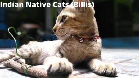 Indian Native Cats (Billis)