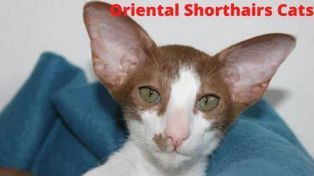 Oriental Shorthairs Cat