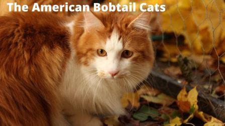 The American Bobtail Cat