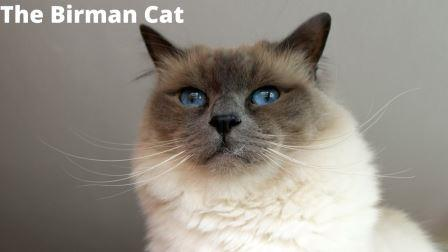 The Birman Cat