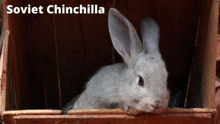 Soviet Chinchilla